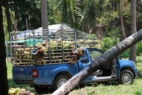Kokosnussernte mit Hilfe der Affen, Koh Phangan, Thailand
