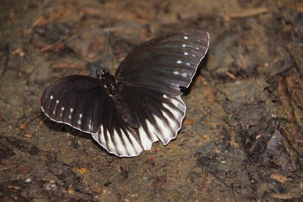 Im Cuc Phuong NP sind Schmetterlinge in allen Farben zu sehen