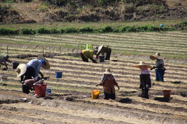 Arbeiter auf dem Reisfeld, Chiang Mai