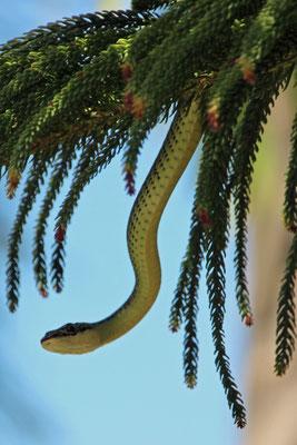 Eine Baumschlange in unserem Garten, Thung Wua Laen