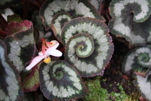 Blattwunder im Botanischen Garten Bedugul