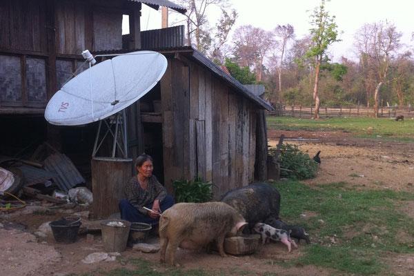 Schweinefütterung in Tad Lo