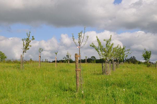 Nachpflanzung in Lumda nach dem Orkan 2011