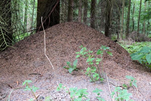 Ameisenhaufen am Rand eines Fichtenbestandes