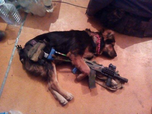 Сепарские шавки в ШОКЕ! На службу в ВСУ поступили боевые собаки. Пришёл с разведки уставший, аж с ног валится.