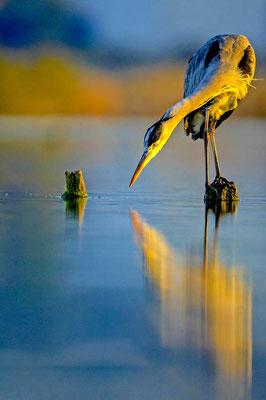 Héron en reflet - David Allemand
