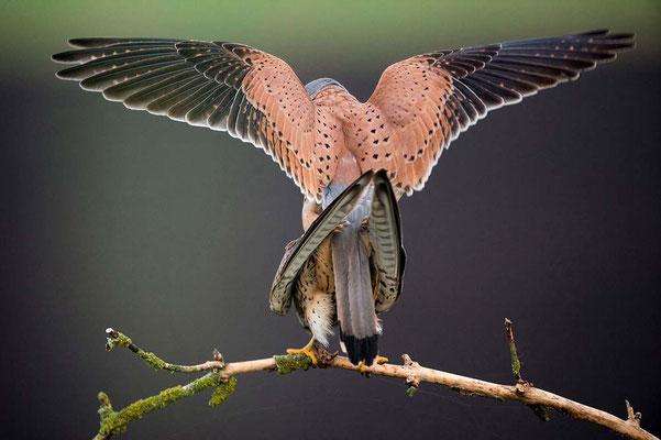 Accouplement faucons - James Chevreuil
