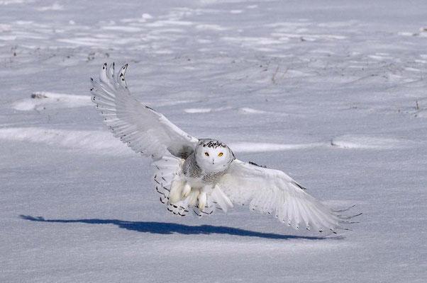 Harfang sur neige - Deparis