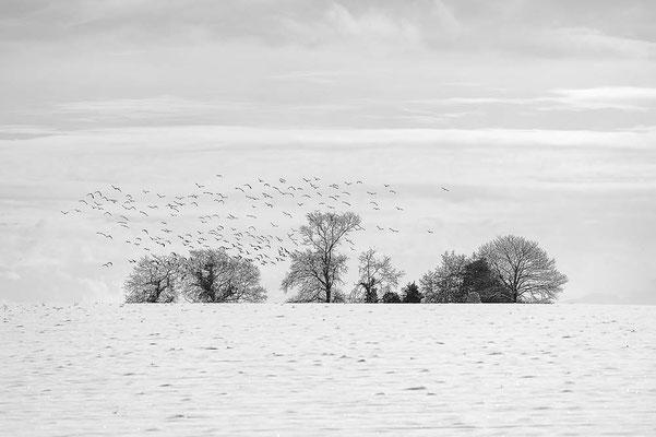 Vanneaux en hiver - Jacques Brouste
