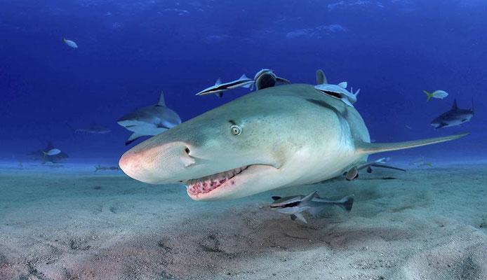 Grand requin citron - James Chevreuil