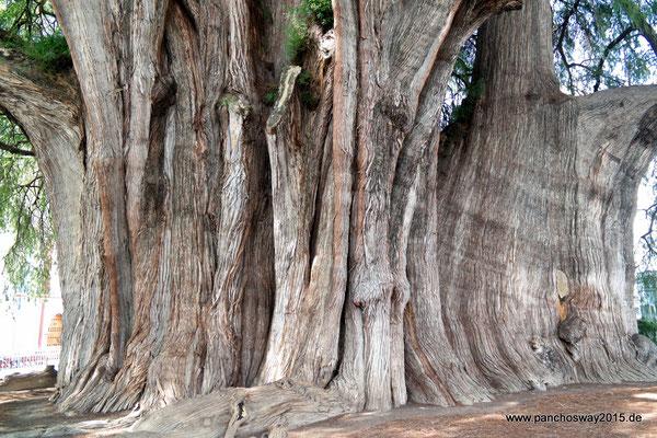 Mexiko_Oaxaca und Chiapas_Santa María El Tule_Eine 2000 Jahre alte Sabino-Zypresse