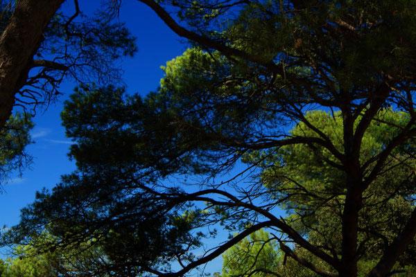 Les pins de Porquerolles