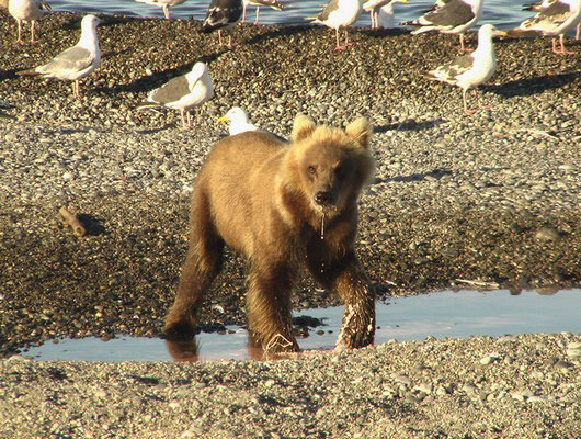 Молодой медведь