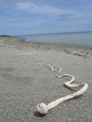 Стебель морской капусты