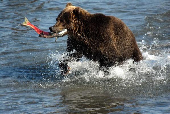 Медведь на Курильском озере