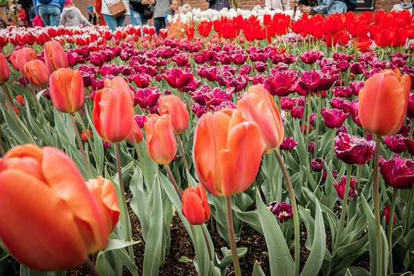 Keukenhof bei Amsterdam, Tulpen