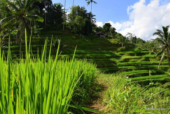 Tegallalang Reisterrassen bei Ubud