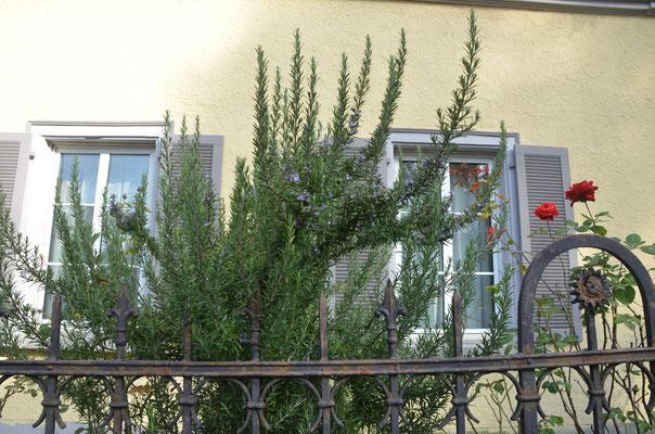 Foto: Dr. Dietmar Hawran, Lavendel im Vorgarten