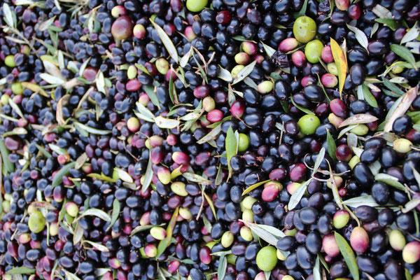 Der moderne Olivenbauer verwendet keine Säcke mehr!