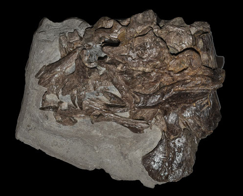 Microcleidus (Hydrorion) skull at Holzmaden