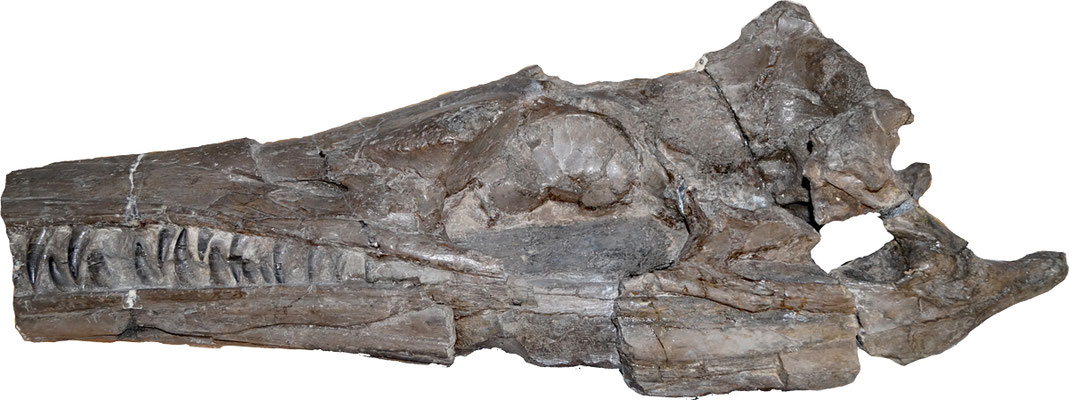 Cricosaurus Enaliosuchus schroederi skull left