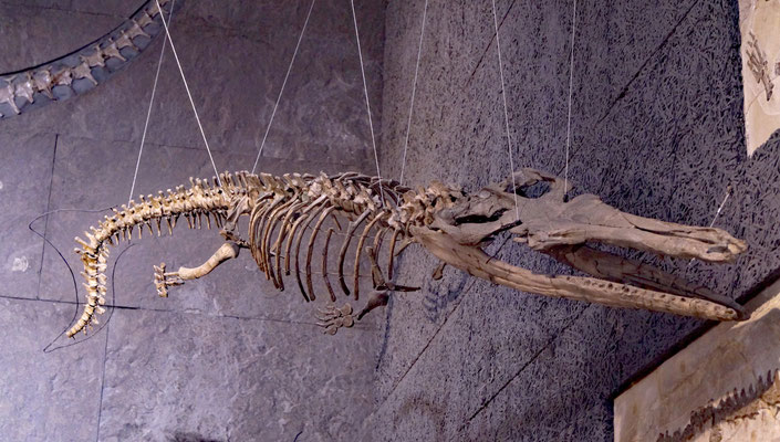 Metriorhynchus skeleton at Tübingen