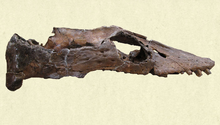 Libonectes morgani holotype skull
