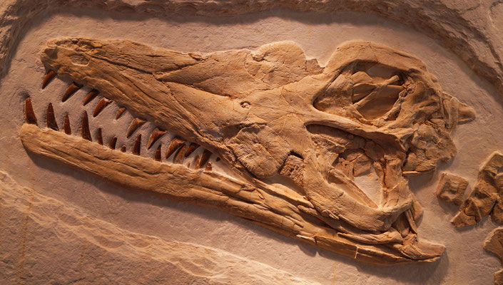 Dakosaurus maximus skull from Painten