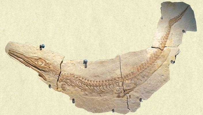 Cricosaurus sekeleton in Solnhofen limestone