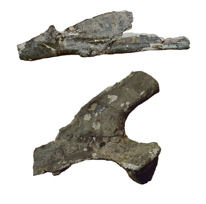 Arminisaurus lower jaw and scapula