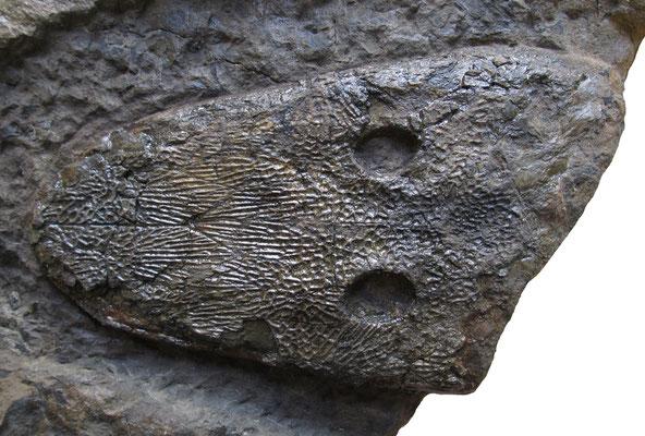 Cyclotosaurus buechneri holotype skull