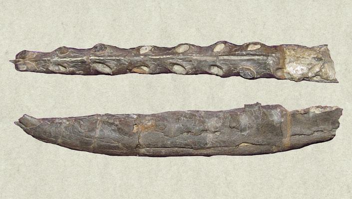 Ornithocheirus wiedenrithi mandible