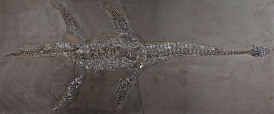 Microcleidus (Hydrorion) skeleton at Holzmaden