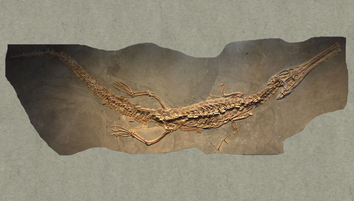 Steneosaurus bollensis skeleton from Holzmaden