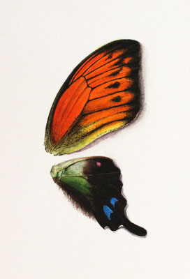 """Hebomoia Leucippe & Graphium Weiskei"" Watercolor on Paper, 9x12,5cm, 2018"
