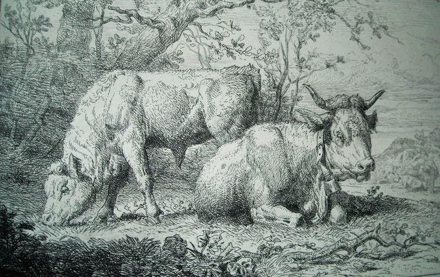 Guy, Les vaches ruminant
