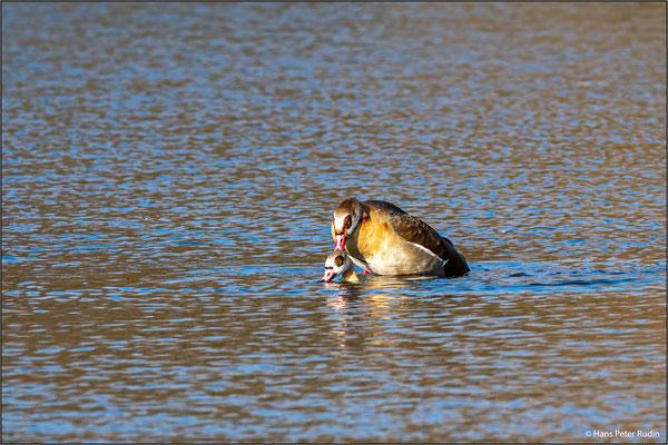 Nilgänse – Paarung