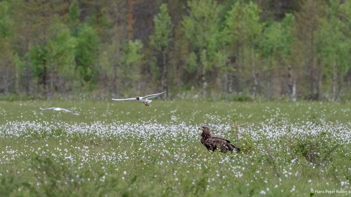 Seeadler, attackiert von einer Lachmöwe