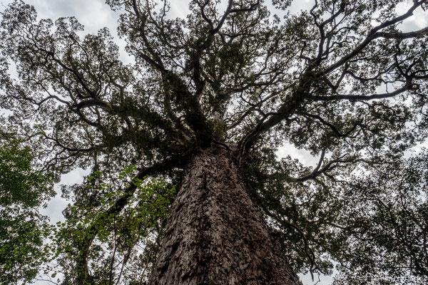 Goudveld Forest, Yellowwood Tree