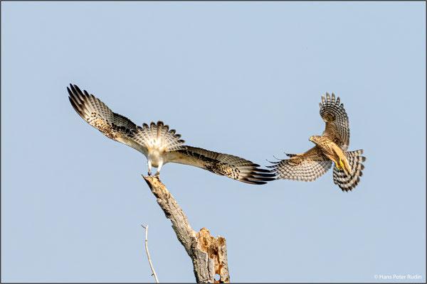 Habicht attackiert Fischadler 1