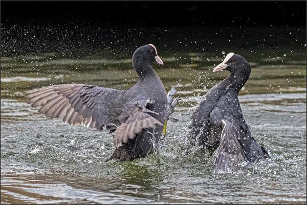 Kampf zwischen Blässhühnern