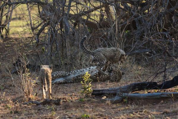 Gepard mit Jungen