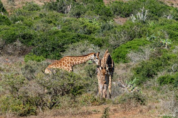 Neugeborene Giraffe mit Mutter und Tante