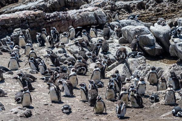Pinguinkolonie Betty's Bay
