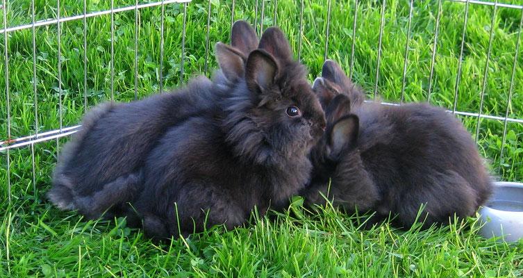 Sirius Schwestern im Alter von 8,5 Wochen