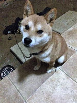 №30  虎太郎 柴犬