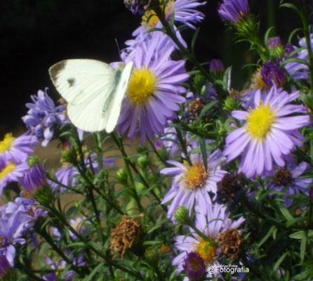 Kohlweissling  an herbstaster/Aufnahme Garten
