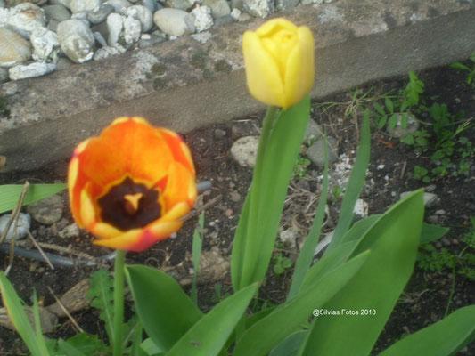 Tulpen Gartenaufnahme März 2018