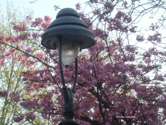 Japanische Kirschblüte/Aufnahme unterwegs