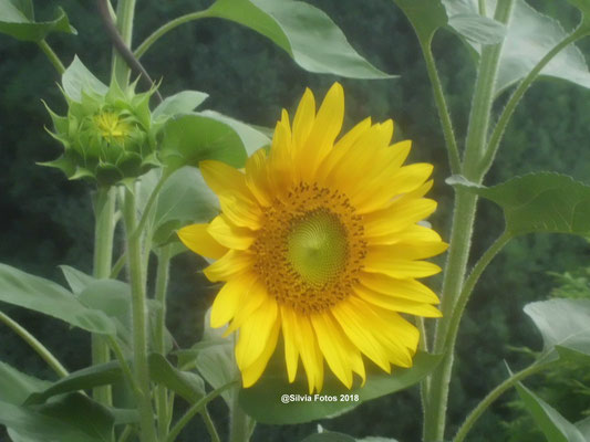 Sonnenblume Gartenaufnahme 18